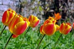 Bunte lehnende Tulpen Stockfoto