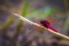 Bunte Libelle Stockbilder