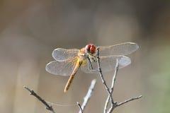 Bunte Libelle auf Front Lizenzfreies Stockfoto