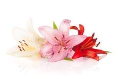 Bunte Lilienblumen Stockfoto