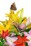 Bunte Lilienblumen mit Schmetterlingen Stockfoto