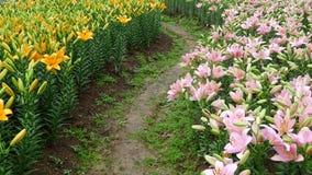 Bunte Lilienblumen mit Weg Stockfotografie