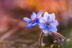 Bunte liverleaf Blumen Stockfoto