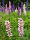 Bunte Lupine Blumen oder Bluebonnets auf einem Gebiet lizenzfreies stockbild