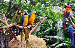 Bunte Macaws Lizenzfreies Stockfoto