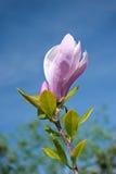 Bunte Magnolienblume auf einem Himmelhintergrund Lizenzfreies Stockbild