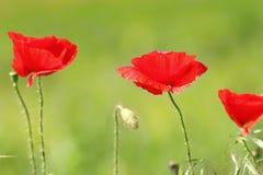 Bunte Mohnblumen auf grünem natürlichem Hintergrund Stockfotos