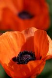 Bunte Mohnblumen in der vollen Blüte Stockbilder