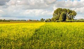Bunte niederländische Landschaft mit blühendem Rapssamen Lizenzfreies Stockfoto