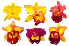 Bunte Orchidee lokalisiert auf weißem Hintergrund Lizenzfreie Stockbilder