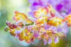 Bunte Orchideen, Name: Sonnenuntergang Rhynchorides Bangkok Stockfotografie