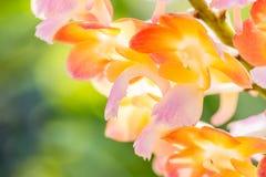 Bunte Orchideen, Name: Sonnenuntergang Rhynchorides Bangkok Stockbild