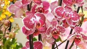 Bunte Orchideenblumen auf Ausstellung im Gew?chshaus stock footage