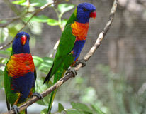 Bunte Paare Vögel Stockfoto