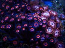 Bunte Palythoa-Korallen im Wasser Lizenzfreies Stockfoto