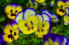Bunte Pansies, hybride Stiefmütterchenblume lizenzfreie stockfotografie