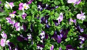 Bunte Pansiesblumen stockbilder