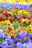 Bunte Pansy Flowers auf Blumenbeet Stockfotografie