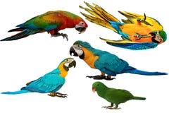 Bunte Papageien lokalisiert auf weißem Hintergrund stockfoto