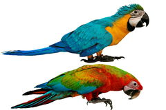 Bunte Papageien lokalisiert auf weißem Hintergrund stockfotos