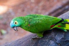 Bunte Papageien-Nahaufnahme Stockbild