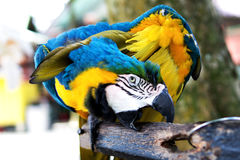 Bunte Papageienfarbtaube Lizenzfreie Stockfotografie