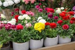 Bunte persische Butterblumeblumen oder Ranunculus asiaticus eingemacht für Verkauf im Gartengeschäft stockbild