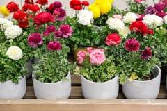 Bunte persische Butterblumeblumen oder Ranunculus asiaticus eingemacht für Verkauf im Gartengeschäft lizenzfreies stockfoto