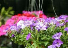 Bunte Petunien, die in den Blumentöpfen hängen Stockfotografie