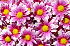 Bunte purpurrote Chrysantheme blüht Hintergrund stockfoto