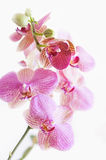 Bunte purpurrote Orchideeblumen Stockfotos