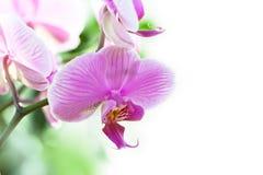 Bunte purpurrote Orchideeblumen Lizenzfreies Stockbild