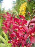 Bunte purpurrote Orchideeblumen Stockbild