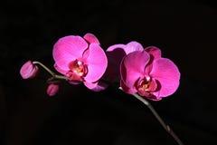 Bunte purpurrote Orchideeblumen Stockfotos