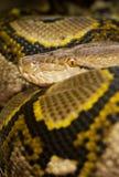 Bunte Pythonschlange Stockbilder