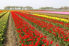 Bunte Reihen der Tulpen Lizenzfreie Stockbilder