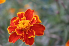 Bunte Ringelblumenblume im Garten Lizenzfreie Stockfotografie