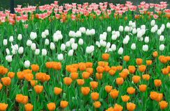Bunte romantische blühende Tulip Garden Background Stockbild