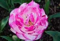 Bunte rosa Blume Stockfoto