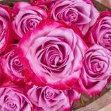 Bunte Rose blüht Nahaufnahme Stockbild