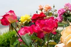 Bunte Rosen im Garten Stockbild