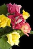 Bunte Rosen mit schwarzem Hintergrund Stockfoto