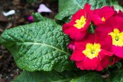 Bunte rote gelbe Blumen mit grünen Blättern im Ziergarten Helles Tageslicht schöne natürliche blühende Primel acaulis Stockfotografie
