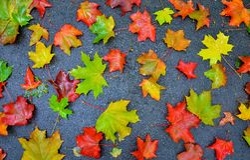 Bunte rote gelbe gefallene Herbstahornblätter auf grauem Hintergrund Stockbilder
