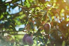 Bunte rote und grüne Mangofrüchte Lizenzfreie Stockfotografie