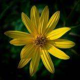Bunte saftige gelbe Blume mit orange Mitte und den klaren angenehmen reinen Blumenblättern Blühendes Topinambur im Makro blühen stockfoto