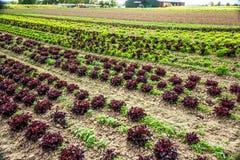 Bunte Salatfelder Lizenzfreies Stockfoto
