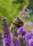 Bunte Schmetterlinge auf purpurroten Blumen Lizenzfreie Stockbilder