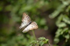 Bunte Schmetterlinge von Brasilien Lizenzfreie Stockfotografie