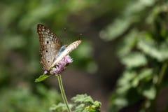 Bunte Schmetterlinge von Brasilien Lizenzfreies Stockfoto
